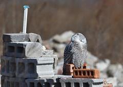 DSC_0119_edit (Hanzy2012) Tags: toronto ontario wildlife canada bird nikon d500 afsnikkor500mmf4difedii owl snowyowl buboscandiacus nature wild