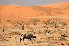Oryx in the Namib Sand Sea (jswensen2012) Tags: namibnaukluftnationalpark namibia desert namibsandsea oryx gemsbok oryxgazella africa sand dunes sanddunes