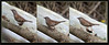 KUS850-6974 (Weinstöckle) Tags: vogel heckenbraunelle