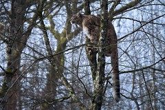 l'arbre à panthère (rondoudou87) Tags: panthère panther panthèredesneiges snowleopard léopard leopard pentax k1 zoo parc park parcdureynou reynou nature natur wildlife wild tree arbre light lumière