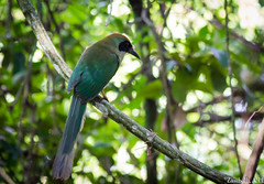 Baryphthengus ruficapillus (azambolli) Tags: juruva motmot baryphthengus ave bird animal brasil nature natureza