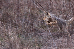 On the Hunt (Waterfall Guy) Tags: coyote wildlife great smoky mountains national park hunting cades cove