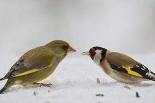 Grünfink und Stieglitz / Greenfinch and Goldfinch