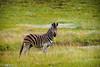 Zebra -  Golden Gate Highlands National Park, South Africa (Sebastian Bayer) Tags: wiese zebra afrika säugetier tier goldengatehighlandsnationalpark südafrika gras nationalpark