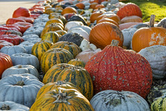Lots of pumpkins (Tambako the Jaguar) Tags: pumpkin fruit colorful autumn close jucker farm lines zürich switzerland nikon d5 seegräben