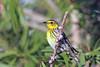 Cape May Warbler (Alan Gutsell) Tags: cape may warbler capemaywarbler songbird nature wildlife galveston migration texas gulfcoast alan photo canon flickr