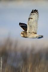 短耳鶚 / Short-eared Owl (阿棋 Looking@Nature) Tags: 短耳鶚 shortearedowl asioflammeus