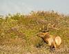 Tule elk in wild radish (Pat Ulrich) Tags: wildlife elk tuleelk cervuscanadensisnannodes summerwildflowers wildradish neardrakesbeach pointreyesnationalseashore marincounty california pacificcoast ©patulrich