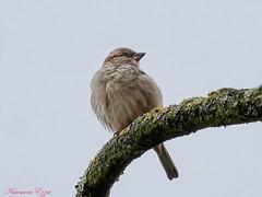 Pinson des arbres (1) Fringilla coelebs (Ezzo33) Tags: france gironde nouvelleaquitaine bordeaux ezzo33 nammour ezzat sony rx10m3 parc jardin oiseau oiseaux bird birds pinson arbres fringilla coelebs