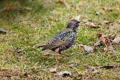 Starling (Jurek.P) Tags: birds bird starling poland polska szpak jurekp sonya77