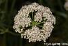 Laserpitium sp. (Luís Gaifém) Tags: laserpitiumsp laserpitium apiaceae luísgaifém macro natureza nature planta plantae flor flower castelodeneiva