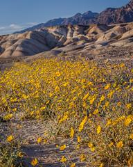 Death Valley Desert Gold 2018 (Jeffrey Sullivan) Tags: desert gold sunflowers wildflowers death valley national park landscape nature travel photography furnace creek california usa canon eos 6d photo copyright march 2018 jeff sullivan flora flowers
