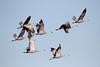 Sandhill Cranes, West Richland (jlcummins - Washington State) Tags: birds wildlife washingtonstate bird sandhillcranes westrichland