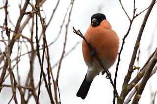 Bullfinch Titchwell RSPB Norfolk x1