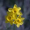 Jonquilles sauvages. (bertolinijacques) Tags: nature macro proxy fleurs fleurssauvages jaunes formatcarré france cévennes gard