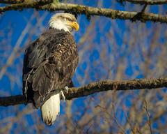Eagle in tree 2 (dwb838) Tags: 8x10 baldeagles brackendale tree