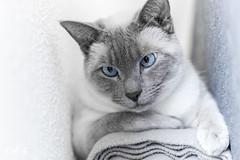 Mr. Mackey BlueEyes (Renate van den Boom) Tags: 03maart 2018 europa gelderland jaar katten maand mack nederland nijmegen renatevandenboom thuis