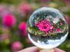 G81_01_P1010703 (Thorndike.ar) Tags: cologne dahlia dahlie dahlienausstellung deutschland europa europe flora germany glaskugel gretchen köln nordrheinwestfalen northrhinewestphalia staude glassball