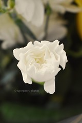 Mothers Day Flower (lucyrogersphotography) Tags: mothersday flower petals white mothersdayflowers present gift green lucyrogersphotos beautiful pretty