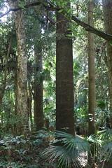 Hoop Pine (Araucaria cunninghamii) (Poytr) Tags: hooppine araucaria araucariaceae araucariacunninghamii redcedar toonaciliata toona meliaceae cabbagetreepalm livistonaaustralis livistona arecaceae gosford narara plantation arfp nswrfp qrfp lowlandarf lowlandarfp subtropicalarf subtropicalrainforest eupomatia eupomatialaurina bolwarra eupomatiaceae adiantumformosum forest wood tree rainforestplantation stricklandstateforest centralcoast nsw australia