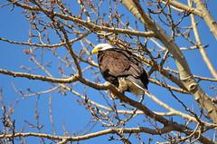Bald Eagle (Neal D) Tags: bc delta boundarybay bird eagle baldeagle haliaeetusleucocephalus