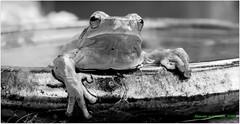 Noir et blanc (bernard.bonifassi) Tags: bb088 06 alpesmaritimes 2018 mars canonsx60 grenouille rainette batracien rainetteméridionale monochrome noiretblanc