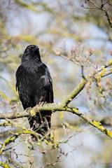 common raven (Cloudtail the Snow Leopard) Tags: rabe vogel bird animal tier kolkrabe corvus corax common raven northern zoo stadtgarten karlsruhe