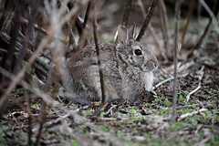 Ti ho visto !    :)) (carlo612001) Tags: animali natura animals nature wildlife bunny easterbunny coniglio rabbit cute lovely hidden