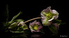 Winter rose -  Hellebore (Magda Banach) Tags: canon canon80d hellebore sigma150mmf28apomacrodghsm blackbackground colors flora flower green macro nature pink plants reflection