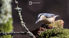 Nuthatch (Sitta europaea) (Ouroboros Photography) Tags: birds deanmason dorset hide johnfanning nuthatch sittaeuropaea wareham windowsonwildlife