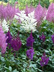 Astilbe (Marit Buelens) Tags: contrast green white purple pink lanhydrock mansion garden nationaltrust cornwall england astilbe falsespirea falsegoatsbeard flower