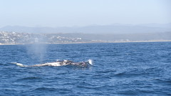 Breaking the Surface - Humpback Whale (Rckr88) Tags: humpbackwhale humpback whale humpbackwhales whales plettenbergbay southafrica plettenberg bay south africa sea water waves wave ocean coast coastal coastline animals animal marinelife marine nature outdoors travel travelling