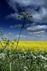 Blue sky (bogtrotter7291) Tags: bluesky cowparsley rapeseedfield rapeseed field plant sky clouds cloudscape
