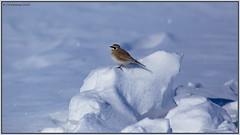HornedLark_6D_2123 (CrzyCnuk) Tags: hornedlark calgary alberta canon canon6d wildlife lark
