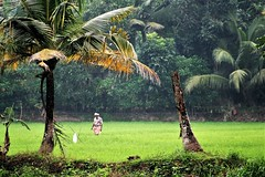 Alleppey, Kerala - Morning Rice Fields at Emerald Isle Heritage Villa (zorro1945) Tags: kerala india asia asie keralabackwaters alleppey alleppuzha paddyfields rice farmer green palms palmtrees