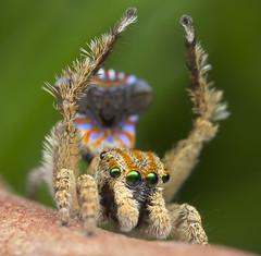unnamed peacock spider (Maratus sp.) (Jurgen Otto) Tags: