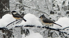 Birds in the Snow (blazer8696) Tags: 2018 brookfield ct connecticut ecw obtusehill t2018 table usa unitedstates atricapillus baebic baeolophus baeolophusbicolor bcch bicolor black blackcapped blackcappedchickadee capped chickadee dscn2722 elsa noreaster paridae passeriformes poeatr poecile poecileatricapillus quinn snow storm titmouse tufted tuftedtitmouse tuti winter