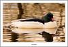 Male Goosander River Leven (flatfoot471) Tags: 2017 balloch bird duck goosander march nature normal riverleven rural scotland spring unitedkingdom westdunbartonshire gbr
