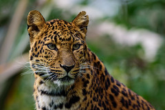 DSC_5895 (Stavros043) Tags: cat bigcat leopard