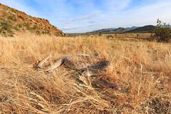 Arizona elegans [Glossy Snake] (kkchome) Tags: herping herp herpetology reptile snake glossy arizona elegans anzaborrego desert usa california nature wildlife fauna
