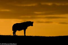 Masai Mara (Duncan Blackburn) Tags: 2018 hyena kenya masaimara mammal scene nikon nature wildlife sunrise