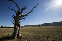 Behind the Sun (Keith Midson) Tags: tasmania tree sun rural australia farm agriculture pasture deadtree sunflare