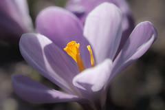 incandescent (christophe.laigle) Tags: christophelaigle fleur macro crocus nature flower fuji mauve xpro2 xf60mm purple flowersarefabulous