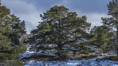 Magnificent Scots Pine (prajpix) Tags: heather snow winter nature invernesshire highlands scotland trees pine scots caledonian forest woods woodland native ancient