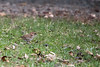 White-throated Sparrow (wjshawiii) Tags: whitethroatedsparrow