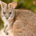 parmawallaby cuteness (2 of 2)