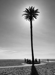 A tree on a beach (ashokboghani) Tags: tree beach sandiego california blackandwhite monochrome sun