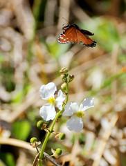 20180215_08 Monarch Butterfly Green Cay Wetlands Boynton Beach Florida USA (FRABJOUS DAZE - PHOTO BLOG) Tags: greencay wetlands greencaywetlands naturecenter boyntonbeach palmbeachcounty pbc fl fla florida sunshinestate usa unitedstates america amerikka yhdysvallat wildlife nature naturephotography luonto luontokuvaus luonnonpuisto puisto monarch butterfly monarkkiperhonen monarkki