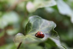 Spring is here now! (Sven Bonorden) Tags: marienkäfer ladybug ladybird ladybeetle käfer bug beetle efeu ivy insect insekt blatt leaf garden garten canon makro macro