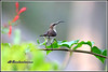 7686 - sunbird (chandrasekaran a 47 lakhs views Thanks to all) Tags: sunbird birds nature india chennai canoneos6dmarkii tamronsp150600mmg2